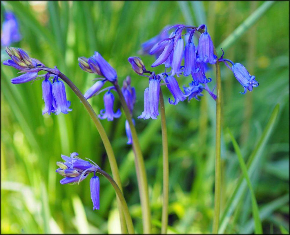 bluebell-(1)