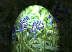 bluebell-(2)
