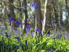 bluebell-(5)