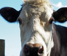 Cow at Godolphin