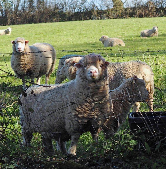 Sheep at Godolphin