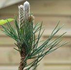 Pine cones forming