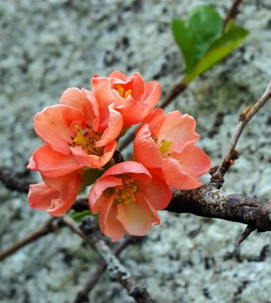 Japanese Quince / Chaenomeles