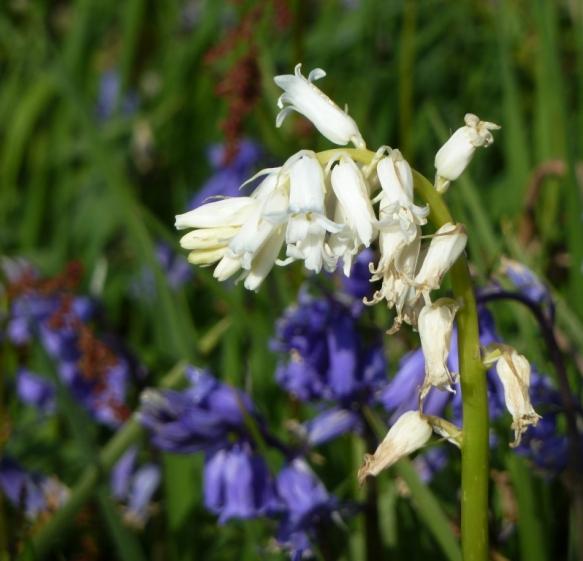 bluebells (4)