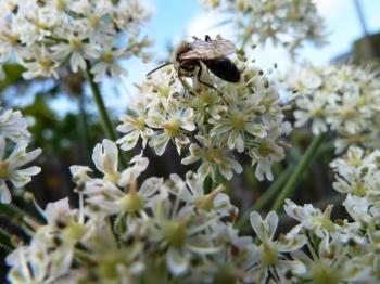 Common Hogweed flower
