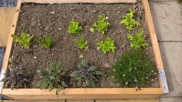 Herbs and salad