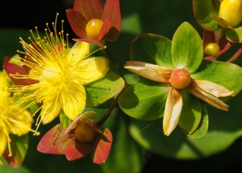 Aaron's beard or creeping St John's wort