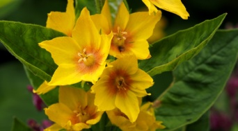 Lysimachia vulgaris (Yellow Loosestrife)
