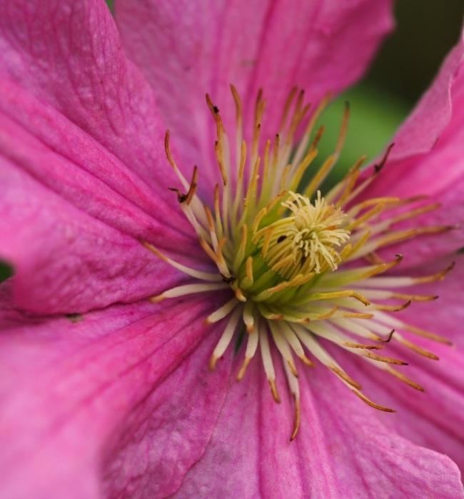 Pink large clematis