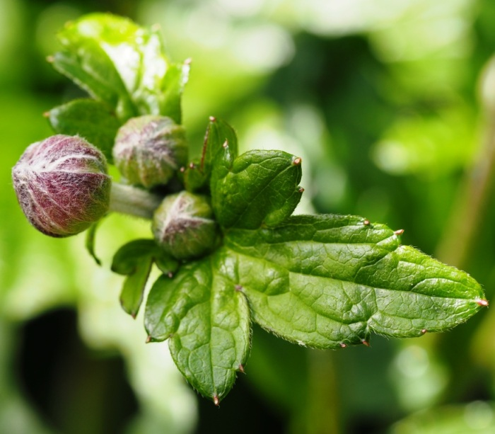 Japanese Anemone in bud