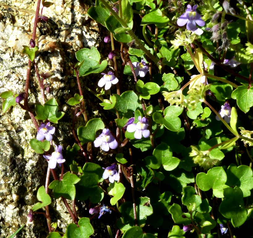 Kenilworth Ivy Cymbalaria (1)