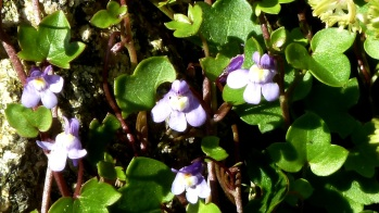 Kenilworth Ivy Cymbalaria