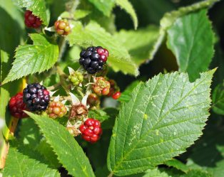 A sign of autumn - blackberries (not the thornless type)