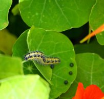 The culprit - large white caterpillar