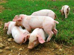 Piglets at Trevaskis Farm