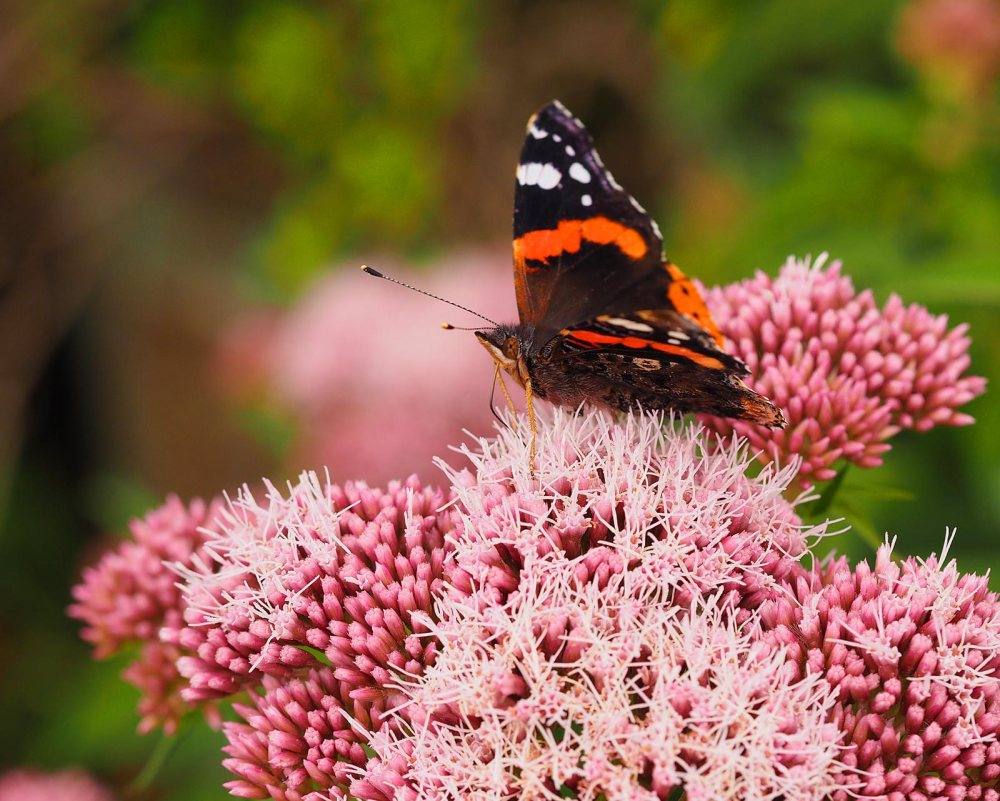 red-admiral-(1)