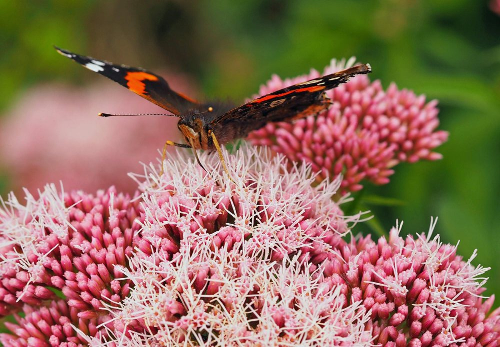red-admiral-(2)