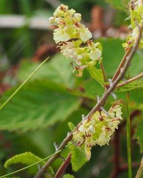 Wood Sage / Teucrium scorodonia
