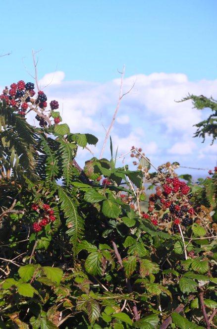 Blackberries in the lane