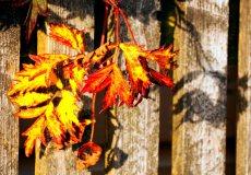 Thornless Blackberry autumn leaves