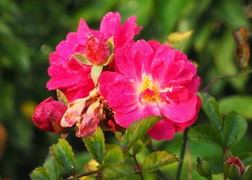 Wild rose still in flower