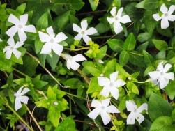Periwinkle still flowering