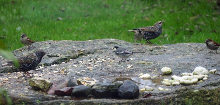 Willy Wagtail and friends
