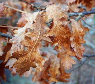 Oak leaves still hanging on