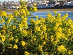 Yellow Fynbos Flowers