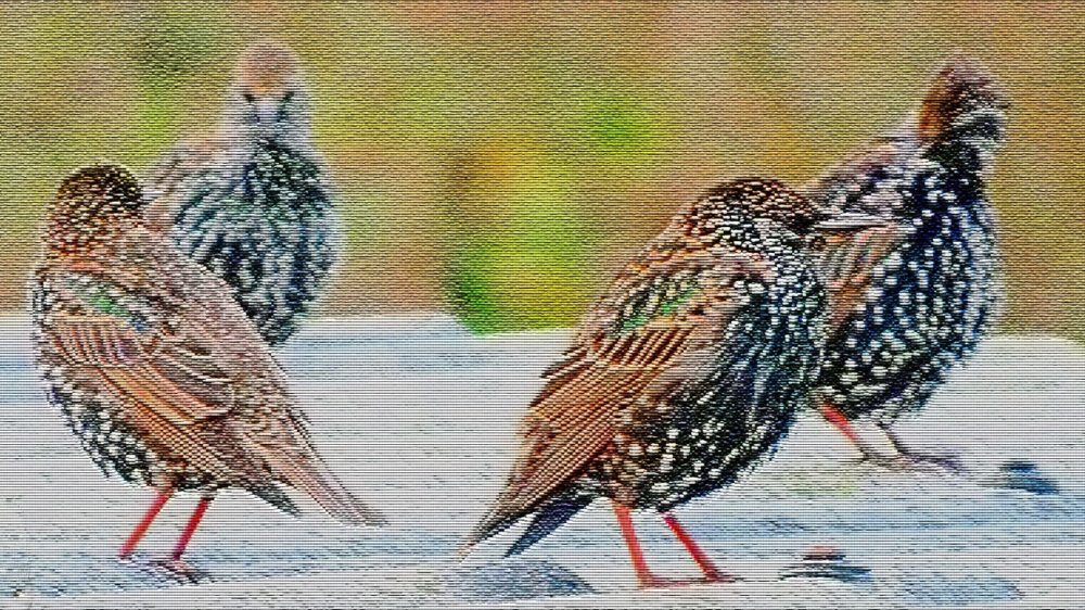 starlings-patchwork