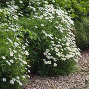Anthemis cupaniana (white Sicilian chamomile )