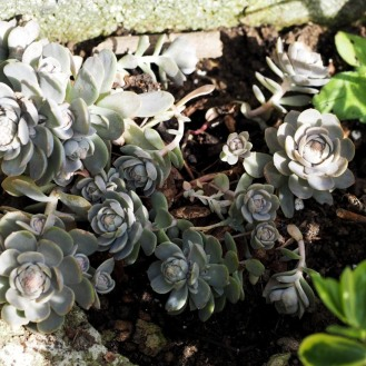 New Succulent