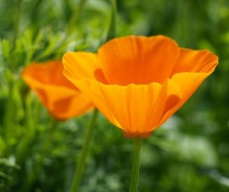 Eschscholzia californica / Californian Poppy