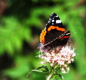 Red Admiral visitor to Hemp Agrimony