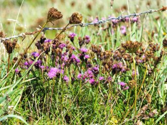 Thistles and Wild Carrot