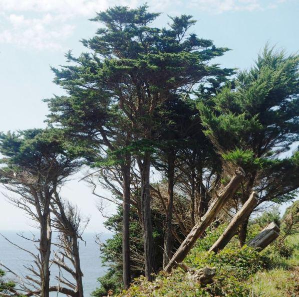 Norfolk Pines