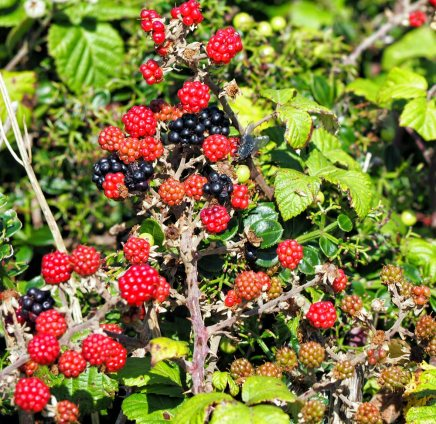 Blackberries ripening