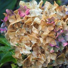 hydrangea (1)