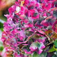 hydrangea (2)