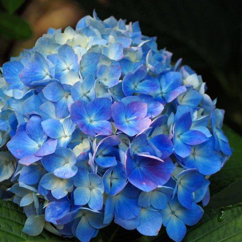 hydrangea (4)