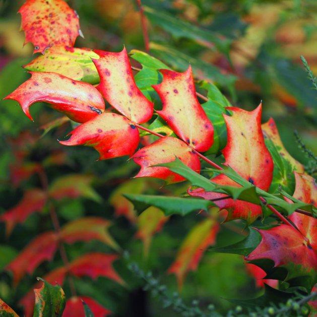Mahonia leaf