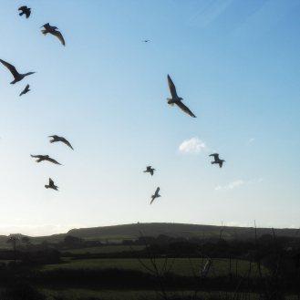 Blustery Gulls