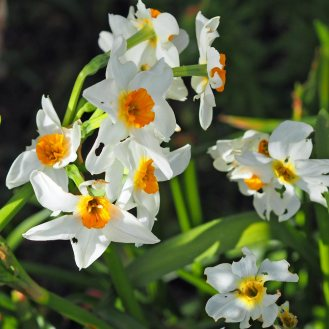 Narcissus with orange trumpet