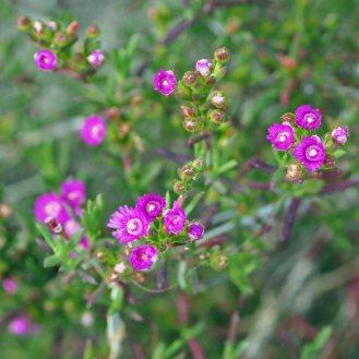 Succulent (lampranthus?)