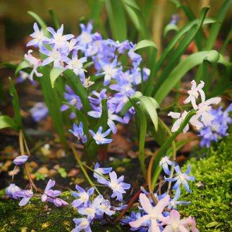 Chionodoxa-forbesii-'Blue'