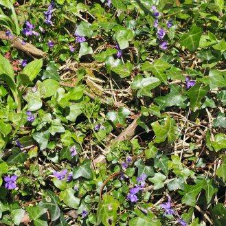 Dog-Violets