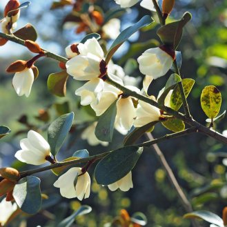Magnolia compressa