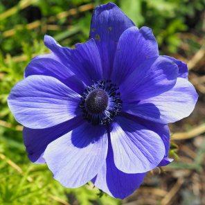 Big Blue Anemone coronaria