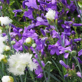 dianthus-and-campanula