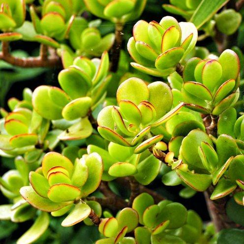 Crassula-ovata-Jade-tree-(2)